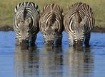 Кения - Класическо сафари